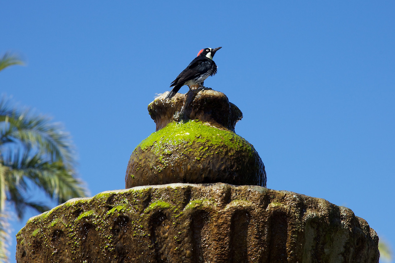 Bird bathing at in the fountain at the old Santa Barbara Mission.  I believe this is a Woodpecker.