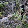 Anhinga Chicks and Father