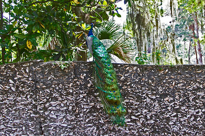 "Peacock sitting on wall made of ""tabby"" composed of shells, sand, and lime."