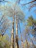 Tall, straight trees! <br /> Tallassee, TN