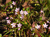 Spring beauties April 2013<br /> Tallassee, TN