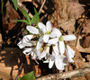 Toothwort <br /> Tallassee, TN<br /> April 2013