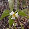 Newly opened and still fresh, white catesby's trillium.<br /> Kenny is holding it up with a twig so I can get the picture!<br /> The blooms hang way down under the leaves.<br /> Trillium catesbaei<br /> Liliaceae<br /> Tallassee, TN 2008