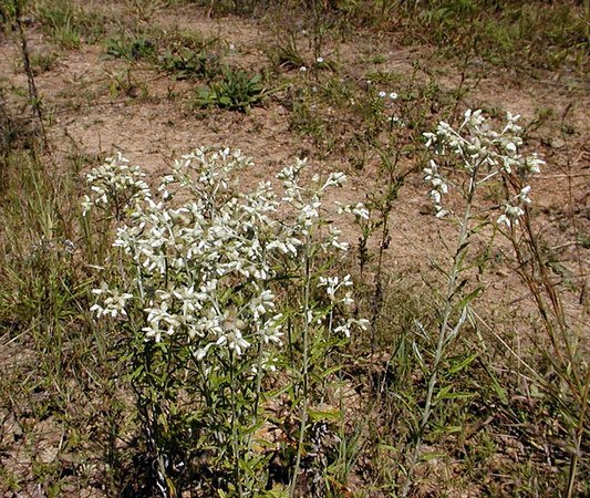 Sweet Everlasting or Rabbit Tobacco in dry meadow at Tallassee