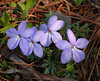 More birdsfoot violets. deeper purple.