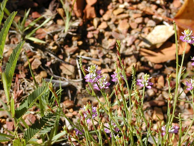 Curtiss' Milkwort or Appalachian Milkwort<br /> Polygala curtissii<br /> Polygalaceae<br /> Shingle Mtn. TN