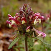 Regal looking bloom of Wood Betony also known as lousewort<br /> We saw masses of this in spots and it was in two widely different shades of color!<br /> Pedicularis canadensis<br /> Scrophulariaceae<br /> Tallassee, TN 2008