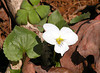 White violet<br /> Tallassee, TN<br /> April 2013
