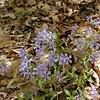 Common Blue Phlox<br /> Phlox divaricata<br /> Polemoniaceae<br /> Tallassee, TN 2008