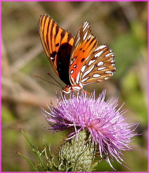 Great Spangled fritillary on field thistle