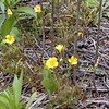 Common Yellow Wood Sorrel<br /> Oxalis stricta<br /> Oxalidaceae  <br /> Tallassee, TN 2008