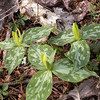 Cluster of yellow trilliums<br /> Tallassee, TN<br /> April 2013