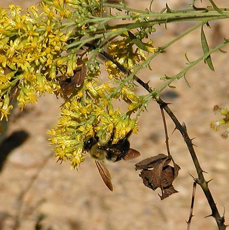 Nectaring bumblebee on one of the many forms of goldenrod found blooming at Tallassee