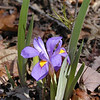 Dwarf crested iris--the ones growing up on the dry pine ridges were plentiful! They are somewhat rarer than iris cristata<br /> Iris verna var. smalliana<br /> Iridaceae<br /> Tallassee, TN 2008