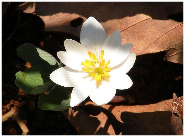 Sunbeams on bloodroot<br /> Tallassee, TN <br /> April 2013