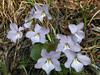 Birdsfoot violets