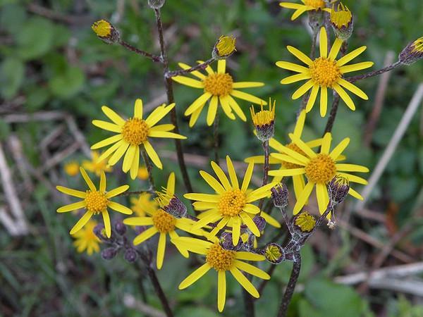 Golden Ragwort in full bloom