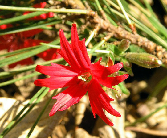 Roundleaf catchfly-- a form of more rare fire pink. <br /> Silene rotundifolia<br /> Carnation family or Caryophyllaceae<br /> Tallassee, TN