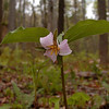 Catesby's Trillium aged to pink. Had to lay on my belly to get this shot.<br /> Trillium catesbaei<br /> Liliaceae<br /> Tallassee, TN 2008