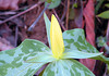 Yellow candle flame. That is what this yellow trillium reminds me of.<br /> Tallassee, TN<br /> April 2013