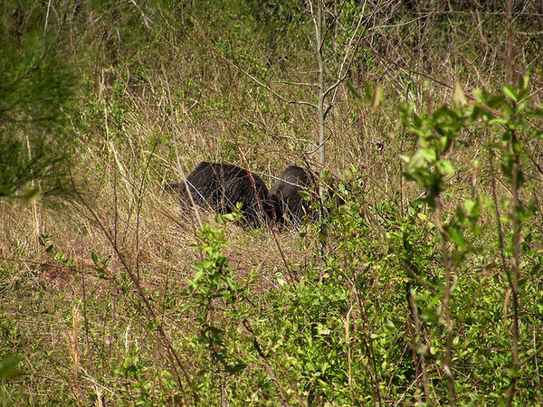 Two Russian wild hogs in the meadow at Tallassee. Not sure if they are both males?