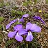 Deep Purple Birdfoot Violet <br /> Viola pedata<br /> Violaceae<br /> Tallassee, TN 2008