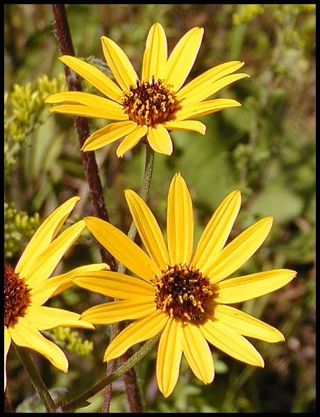 Closeup of Appalachian Sunflowers<br /> Helianthus atrorubens<br /> Asteraceae<br /> Tallassee Meadow, TN