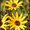 Closeup of Appalachian Sunflowers<br /> Helianthus atrorubens<br /> Asteraceae<br /> Tallassee Meadow, TN
