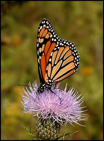 Monarch butterfly in the field back of my house