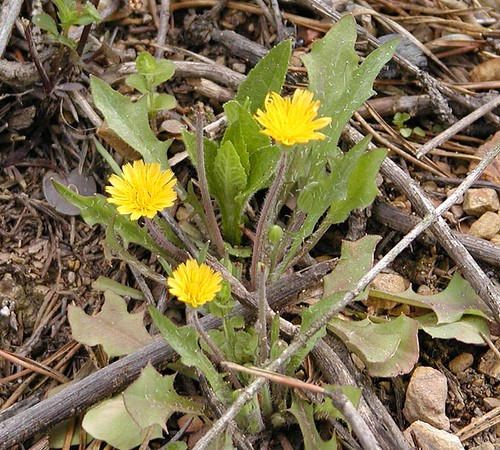 Weedy Dwarf Dandelion-First time seeing this little cutie!<br /> Krigia cespitosa<br /> Asteracea<br /> Tallassee, TN 2008