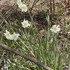 Paper White Narcissus was growing in several clusters along the edges of these old fields.  Probably someone lived here at one time and planted these.