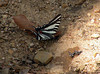 Zebra swallowtail. I acted like a fool trying to get a picture of this feller.  I don't know what those small black and white winged creatures are.