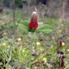 Crimson Clover<br /> Triolium incarnatum<br /> Fabaceae<br /> Tallassee, TN 2008