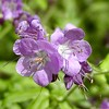 Purple phacelia<br /> Phacelia bipinnatifida<br /> Hydrophyllaceae<br /> Tallassee, TN 2008
