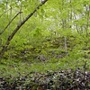 Deep green mossy cliff over the trail peppered with canada violets!<br /> Tallassee, TN 2008