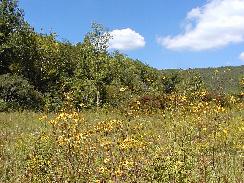 Different View of same wildlife meadow in the other direction.<br /> Saw deer here.<br /> This meadow is filled with Purple Disk or Appalachian Sunflowers<br /> Helianthus atrorubens<br /> Asteraceae<br /> Tallassee, TN <br /> Sept. 19, 2007