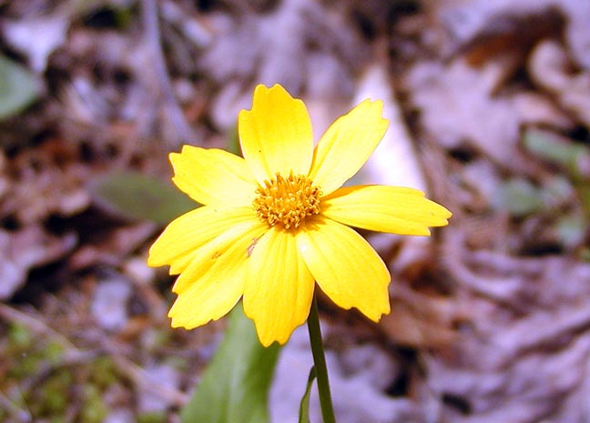 Coreopsis blooming along the trail<br /> spp? <br /> Asteraceae<br /> Tallassee, TN 2008