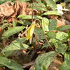Trout lily<br /> Tallassee, TN<br /> April 2013