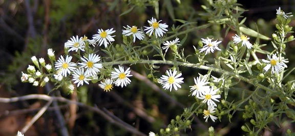 White Heath Aster <br /> Aster pilosus<br /> Asteraceae<br /> Blount Co.<br /> Tallassee TN 9/29/07
