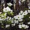 White Flowering Dogwoods were abundant today!<br /> Cornus florida<br /> Cornaceae<br /> Tallassee, TN 2008