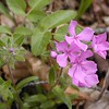 Hairy Phlox -This was a first time sighting for me! This stuff was all over the fields and easy to spot since it is HOT PINK!<br /> Phlox amoena<br /> Polemoniaceae  	<br /> Tallassee, TN 2008