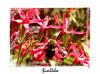 Bumblebee among the fire pinks.