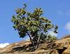 Manzanita tree Alpine,Ca