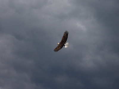 Eagle Looks for Fish