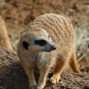 Closer view of a meerkat. They are odd little critters. They don't just walk anywhere. They scurry and dart and they have very funny little antics.