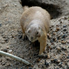 I zoomed in on a prairie dog sneaking out of his burrow.