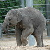The baby elephant was in a playful mood. He seemed to be dancing.