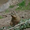 This prairie dog found a tasty morsel.