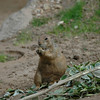 This prairie dog found a tasty morsel.