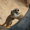 Glad to see you again, buddy. Two playful meerkats exchange a friendly greeting.